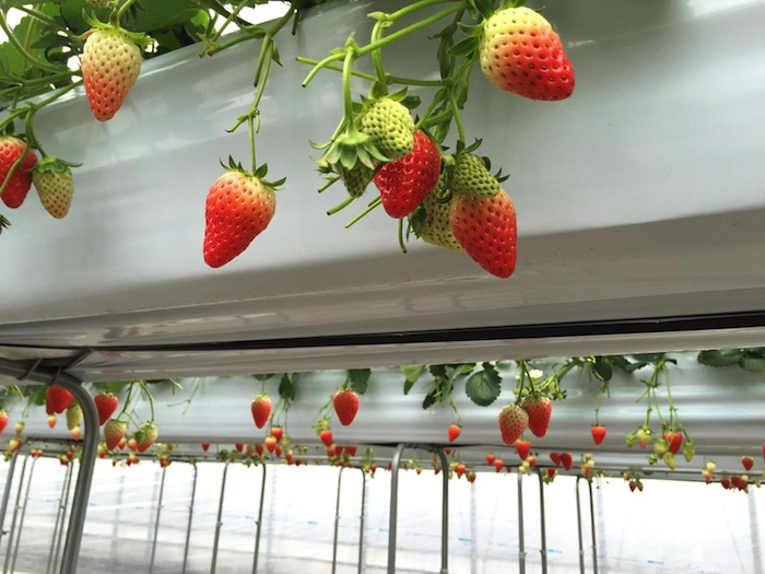strawberry-picking-Japan