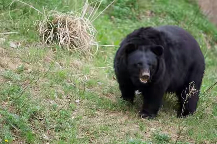 animals-black-bear