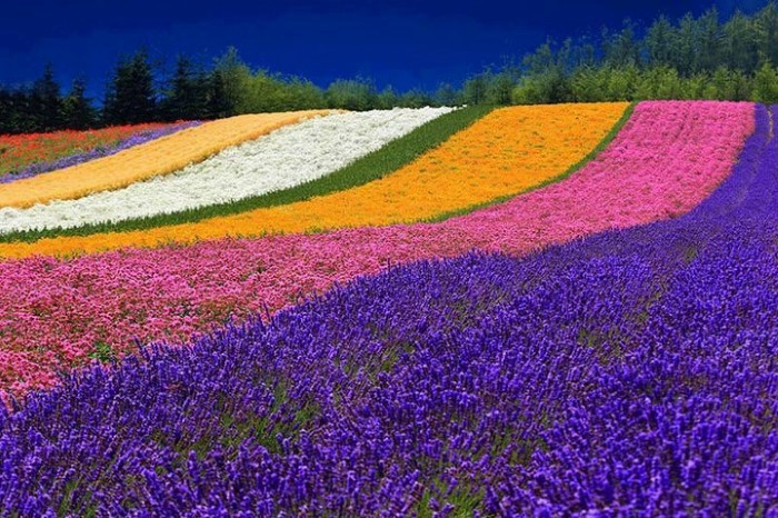 flower-fields-2