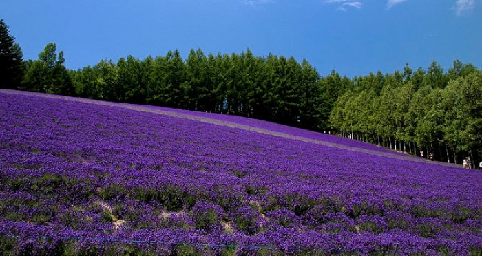 flower-fields-lavender
